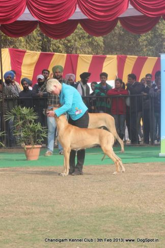 great dane,sw-75,, Chandigarh Dog Show 2013, DogSpot.in