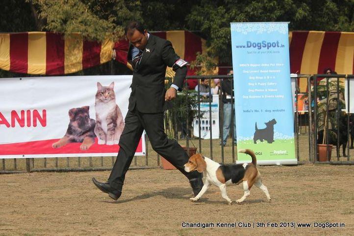 beagle,sw-75,ex-86, BLUE BELL'S JASSSI, Beagle, DogSpot.in