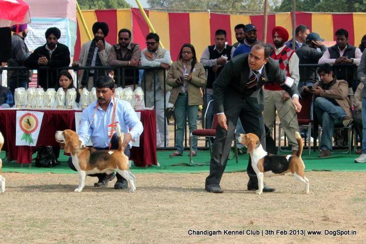 beagle,sw-75,ex-87, MILROC LANDING IN VEGAS, Beagle, DogSpot.in