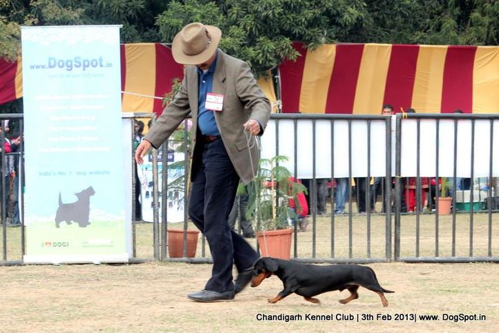 dachshund,sw-75,ex-97, CHANJI'S WHOS THE BOSS, Dachshund Standard- Smooth Haired, DogSpot.in