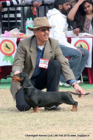 dachshund,sw-75,, Chandigarh Dog Show 2013, DogSpot.in