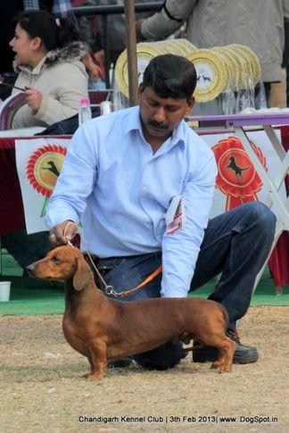 dachshund,sw-75,, Chandigarh Dog Show 2013, DogSpot.in
