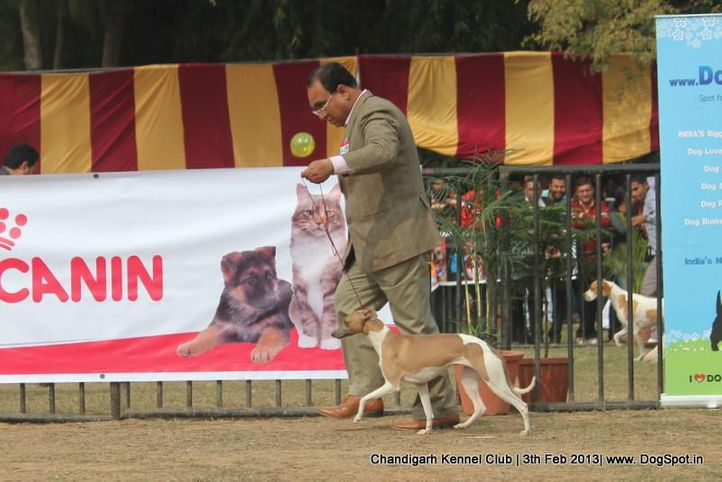 sw-75,whippet,, Chandigarh Dog Show 2013, DogSpot.in