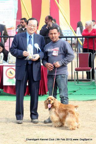 cocker spaniel,sw-75,, Chandigarh Dog Show 2013, DogSpot.in