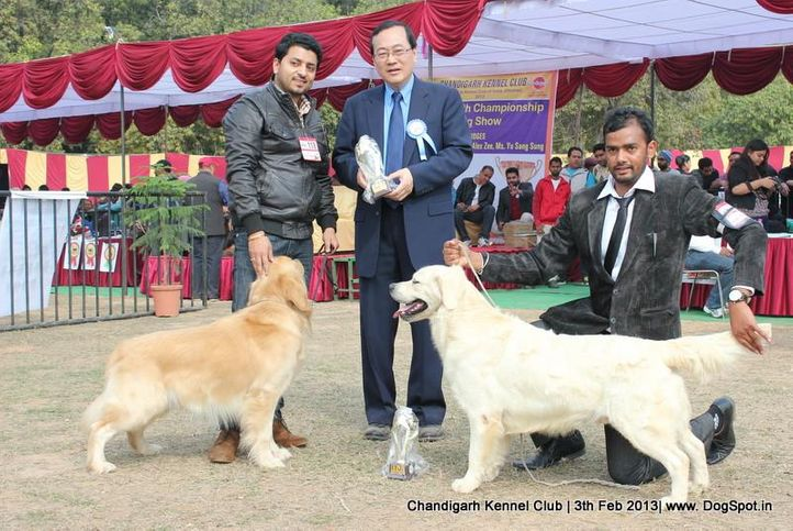 golden retriever,sw-75,, Chandigarh Dog Show 2013, DogSpot.in