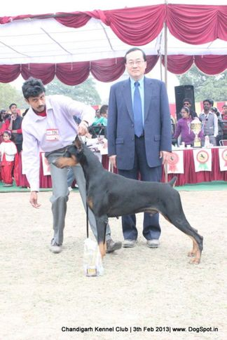 dobermann,sw-75,ex-196, JASPAR'S ITS SHOW TIME, Doberman Pinscher, DogSpot.in