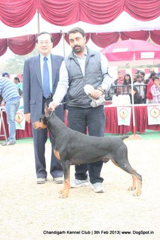 dobermann,sw-75,, Chandigarh Dog Show 2013, DogSpot.in