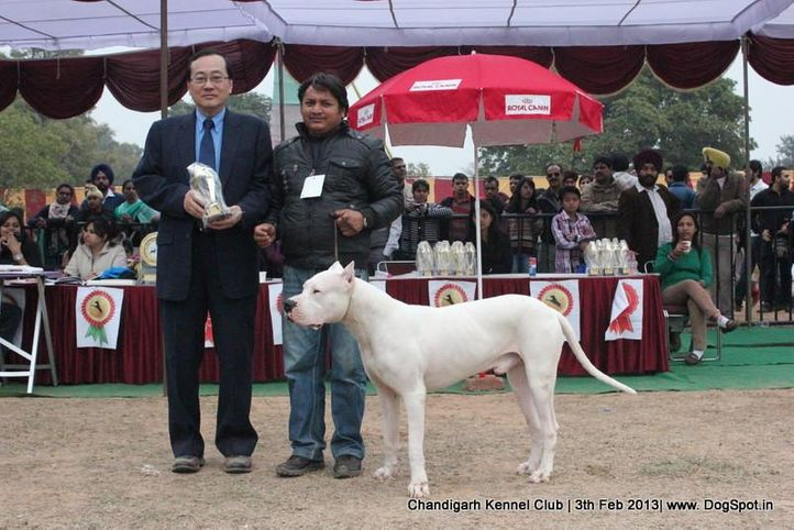 dogo argentino,sw-75,ex-197, ROCKY, Dogo Argentino, DogSpot.in
