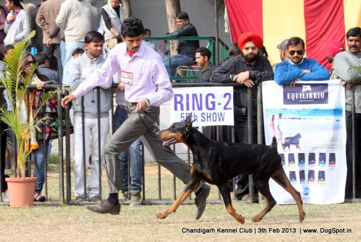 dobermann,ex-196,sw-75,, JASPAR'S ITS SHOW TIME, Doberman Pinscher, DogSpot.in