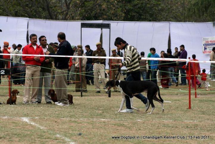 sw-35, ex-338,grey hound,, Chandigarh Kennel Club 2011, DogSpot.in
