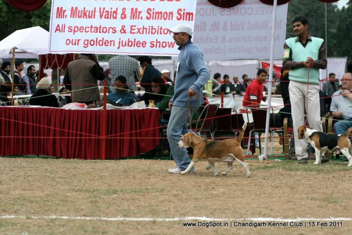 sw-35, beagle,, Chandigarh Kennel Club 2011, DogSpot.in