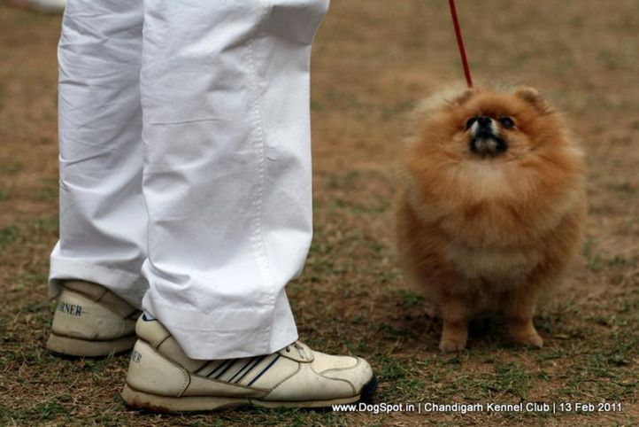 sw-35, ex-3,pomeranian,, Chandigarh Kennel Club 2011, DogSpot.in