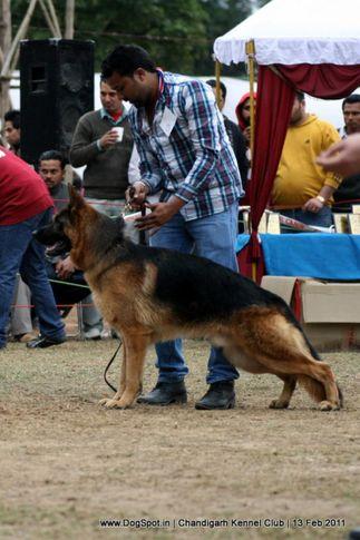 sw-35, gsd, Chandigarh Kennel Club 2011, DogSpot.in