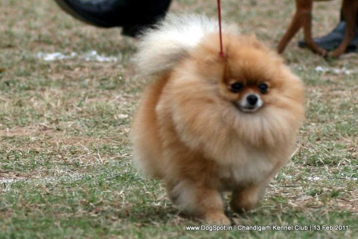 sw-35, ex-3,pomeranian,, Chandigarh Kennel Club 2011, DogSpot.in