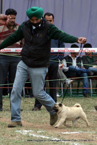 sw-35, pug,, Chandigarh Kennel Club 2011, DogSpot.in