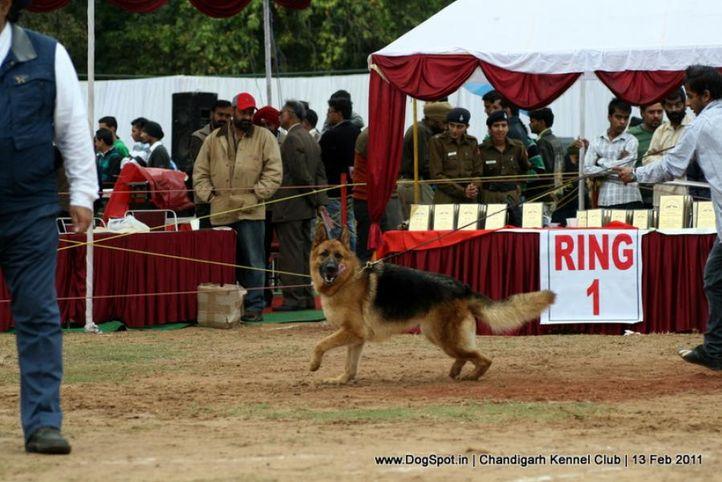 sw-35, ex-317,gsd, Chandigarh Kennel Club 2011, DogSpot.in