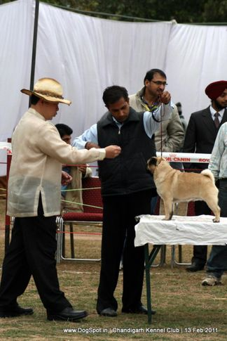 sw-35, pug,, Chandigarh Kennel Club 2011, DogSpot.in