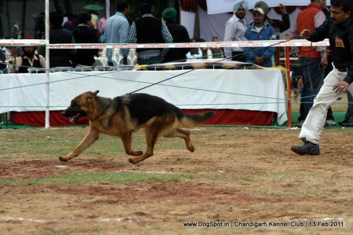 sw-35, ex-318,gsd, SARA OF DADHWAL, German Shepherd Dog, DogSpot.in