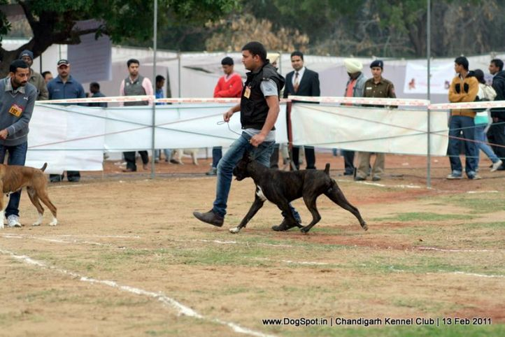 sw-35, boxer,ex-190,, Chandigarh Kennel Club 2011, DogSpot.in