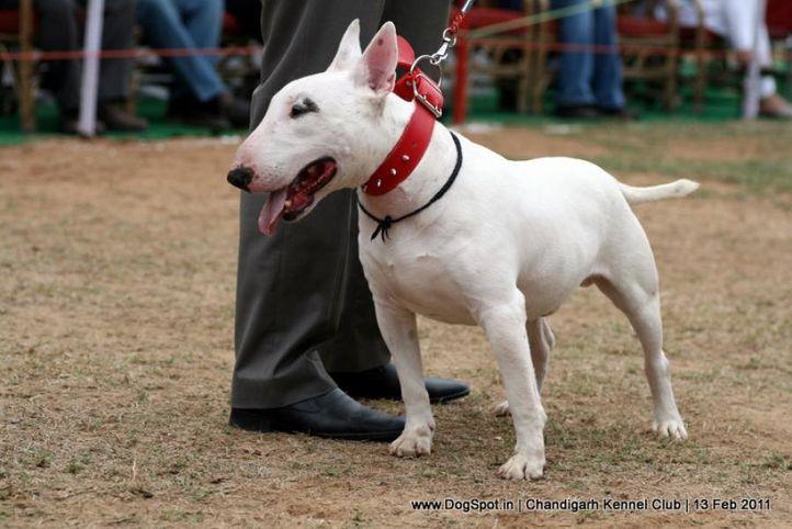sw-35, bull terrier,ex-45,, NEWTON, Bull Terrier, DogSpot.in