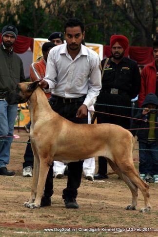 sw-35, ex-216,great dane,, Chandigarh Kennel Club 2011, DogSpot.in