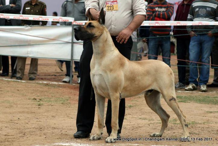 sw-35, ex-223,great dane,, SANDANE'S PAQUIN HEART THROB- SHERIFF, Great Dane, DogSpot.in