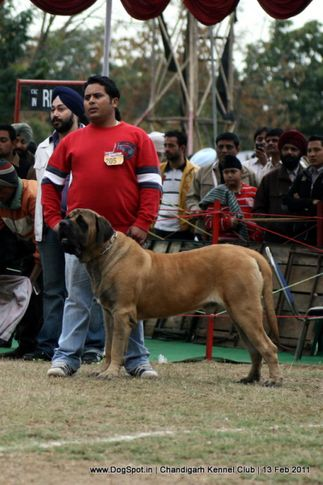 sw-35, ex-205,mastiff,, Chandigarh Kennel Club 2011, DogSpot.in