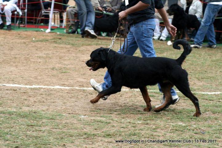 sw-35, ex-261,rottweiler,, SRB. IND. FALKO VON HAUS ZIZAKOV, Rottweiler, DogSpot.in