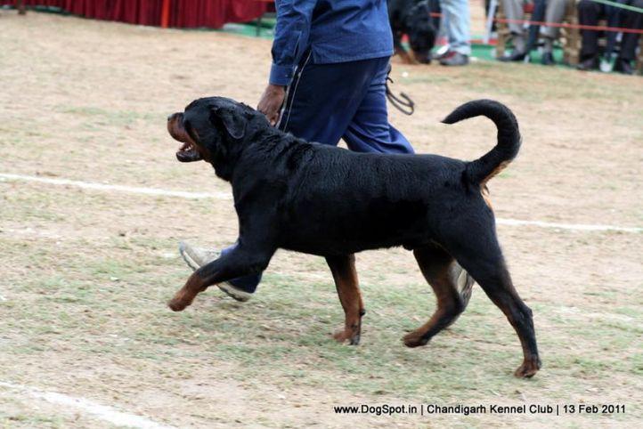 sw-35, rottweiler,, Chandigarh Kennel Club 2011, DogSpot.in