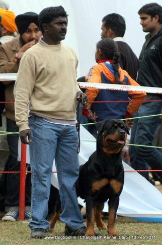 sw-35, ex-243,rottweiler,, CH Grewal`s Security, Rottweiler, DogSpot.in