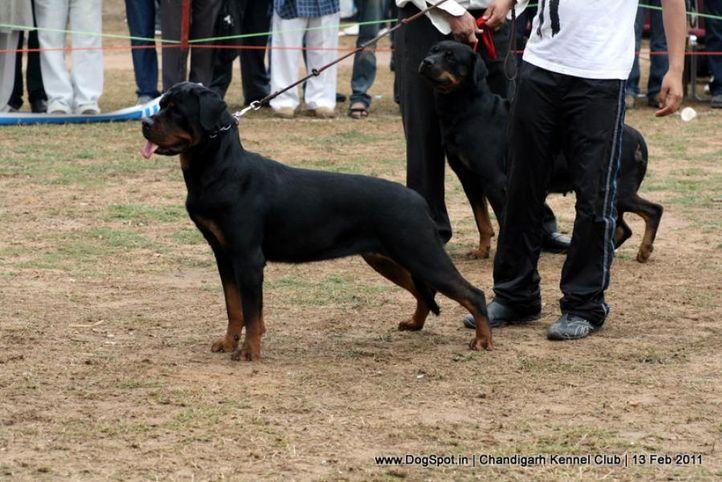 sw-35, ex-248,rottweiler,, Chandigarh Kennel Club 2011, DogSpot.in
