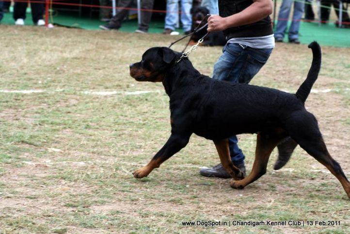 sw-35, ex-262,rottweiler,, TANGO CHARLIE, Rottweiler, DogSpot.in