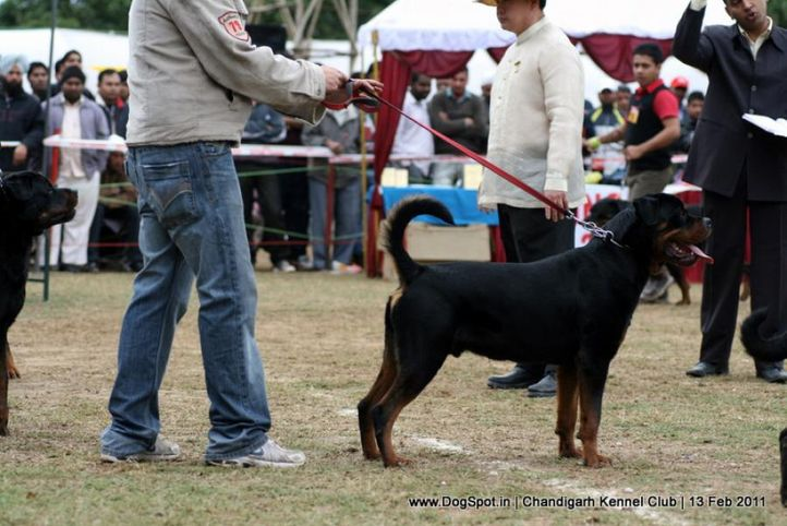 sw-35, ex-268,rottweiler,, SERB. JR. CH. IND. CH. FERRO VONM LENCHEN, Rottweiler, DogSpot.in