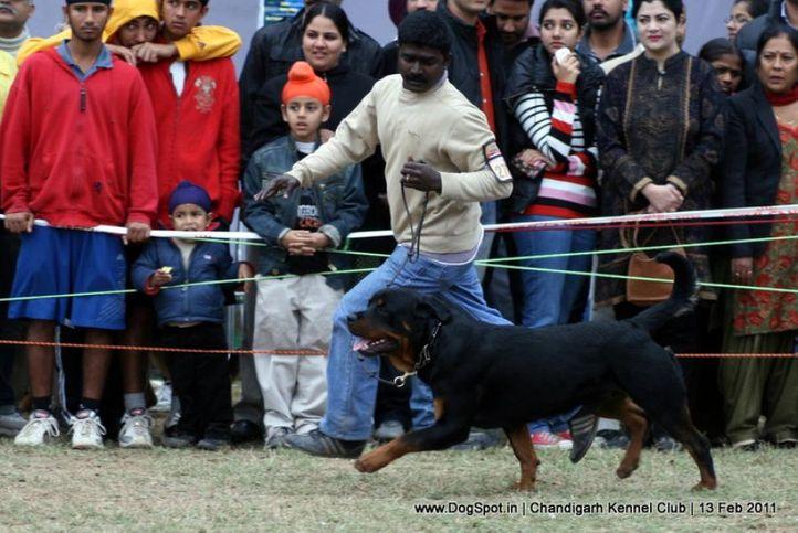 sw-35, ex-278,rottweiler,, GREWAL'S AZGAR, Rottweiler, DogSpot.in