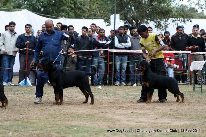 sw-35, ex-278,ex-280,rottweiler,, IND. CH. ROSY'S CARLOS VON KELEMEN, Rottweiler, DogSpot.in