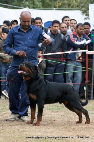 sw-35, ex-280,rottweiler,, IND. CH. ROSY'S CARLOS VON KELEMEN, Rottweiler, DogSpot.in