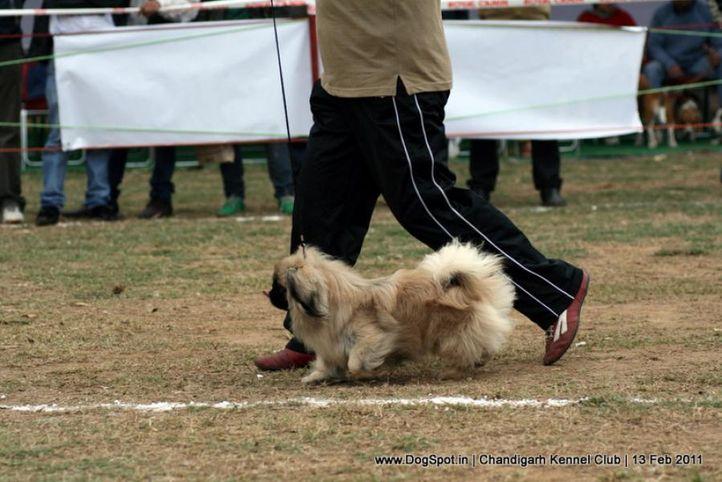 sw-35, pekingese,, Chandigarh Kennel Club 2011, DogSpot.in