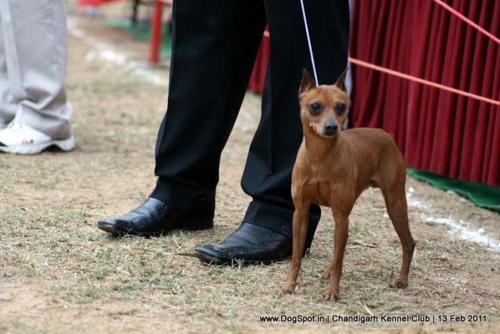 sw-35, ex-10,minpin,, CH.YASHBAN'S NOMINATION, Miniature Pinscher, DogSpot.in