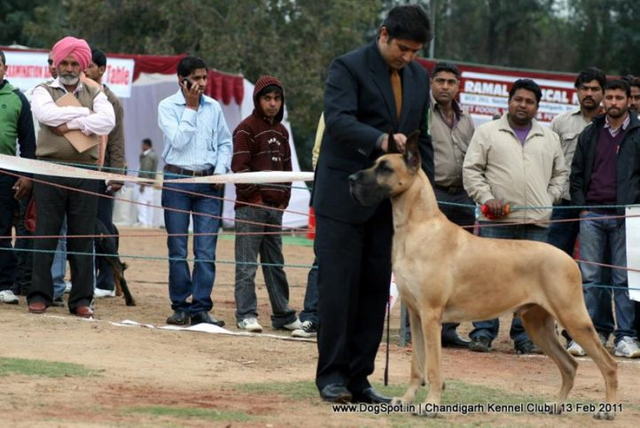 sw-35, ex-228,great dane,, Chandigarh Kennel Club 2011, DogSpot.in