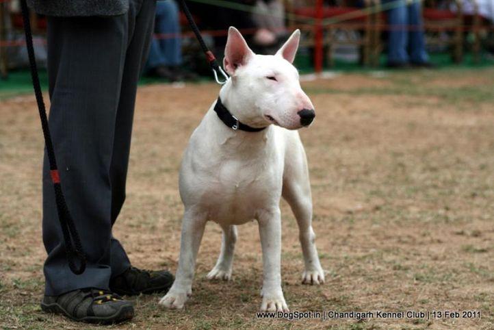 sw-35, bull terrier,ex-47,, HIMSTEELS KARATE QUEEN, Bull Terrier, DogSpot.in