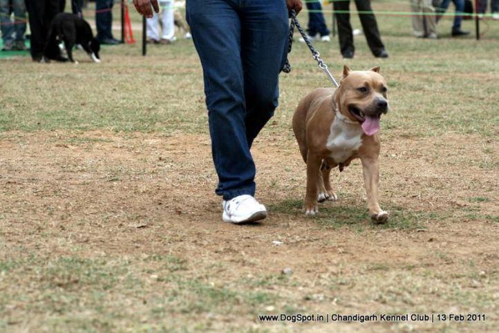sw-35, ex-48,terrier,, X BULL'S FARRAH, American Staffordshire Terrier, DogSpot.in