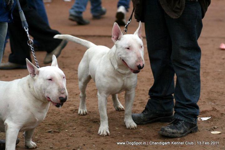 sw-35, bull terrier,, Chandigarh Kennel Club 2011, DogSpot.in