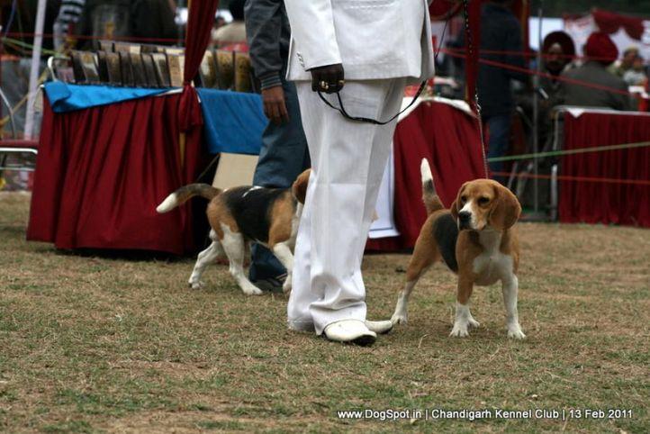 sw-35, beagle,, Chandigarh Kennel Club 2011, DogSpot.in
