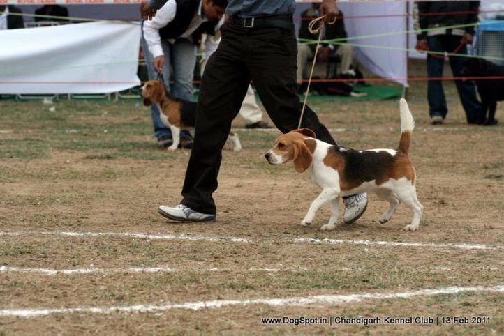 sw-35, beagle,ex-64,, SHYAMBIR'S SHADOW, Beagle, DogSpot.in