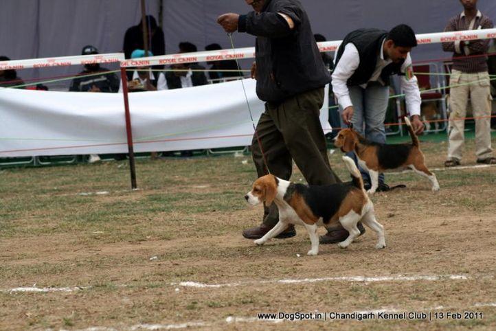 sw-35, beagle,ex-65,, IVATA, Beagle, DogSpot.in