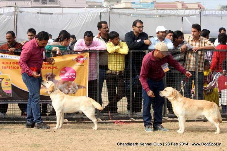 lab,labrador retriever,sw-110,, Chandigarh Kennel Club, DogSpot.in