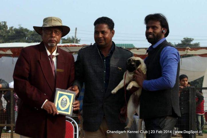 pug,sw-110,, Chandigarh Kennel Club, DogSpot.in