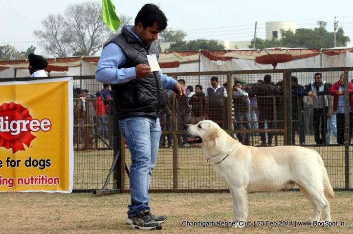 ex-103,lab,labrador retriever,sw-110,, MOHINDRAS RAPID ACTION, Labrador Retriever, DogSpot.in
