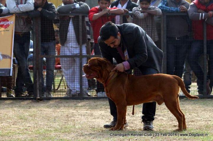 dogue de bordeaux,ex-164,sw-110,, GUDU OF GURUSWAK, Dogue De Bordeaux, DogSpot.in