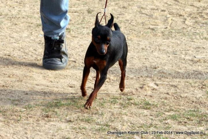 ex-2,min-pin,miniature pinscher,sw-110,, ROCKY, Miniature Pinscher, DogSpot.in